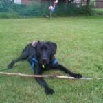 Bentley 1 yr old black lab pup